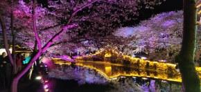太湖樱花夜景