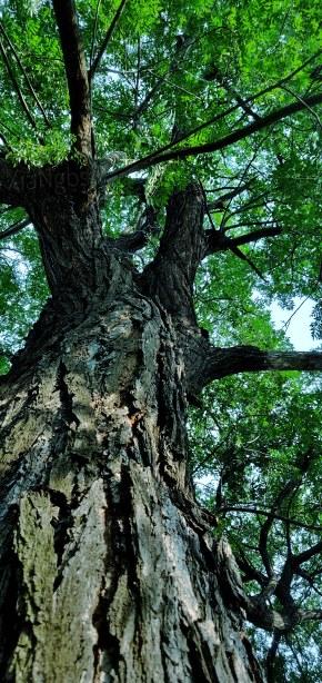 夏天的老槐树
