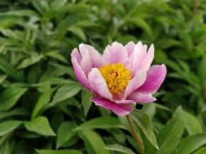 花中双绝之二—芍药