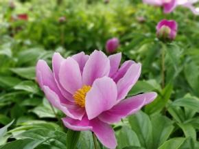 花中双绝之三—芍药