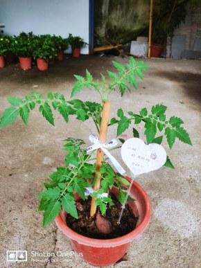 十五的团宠西红柿长大啦