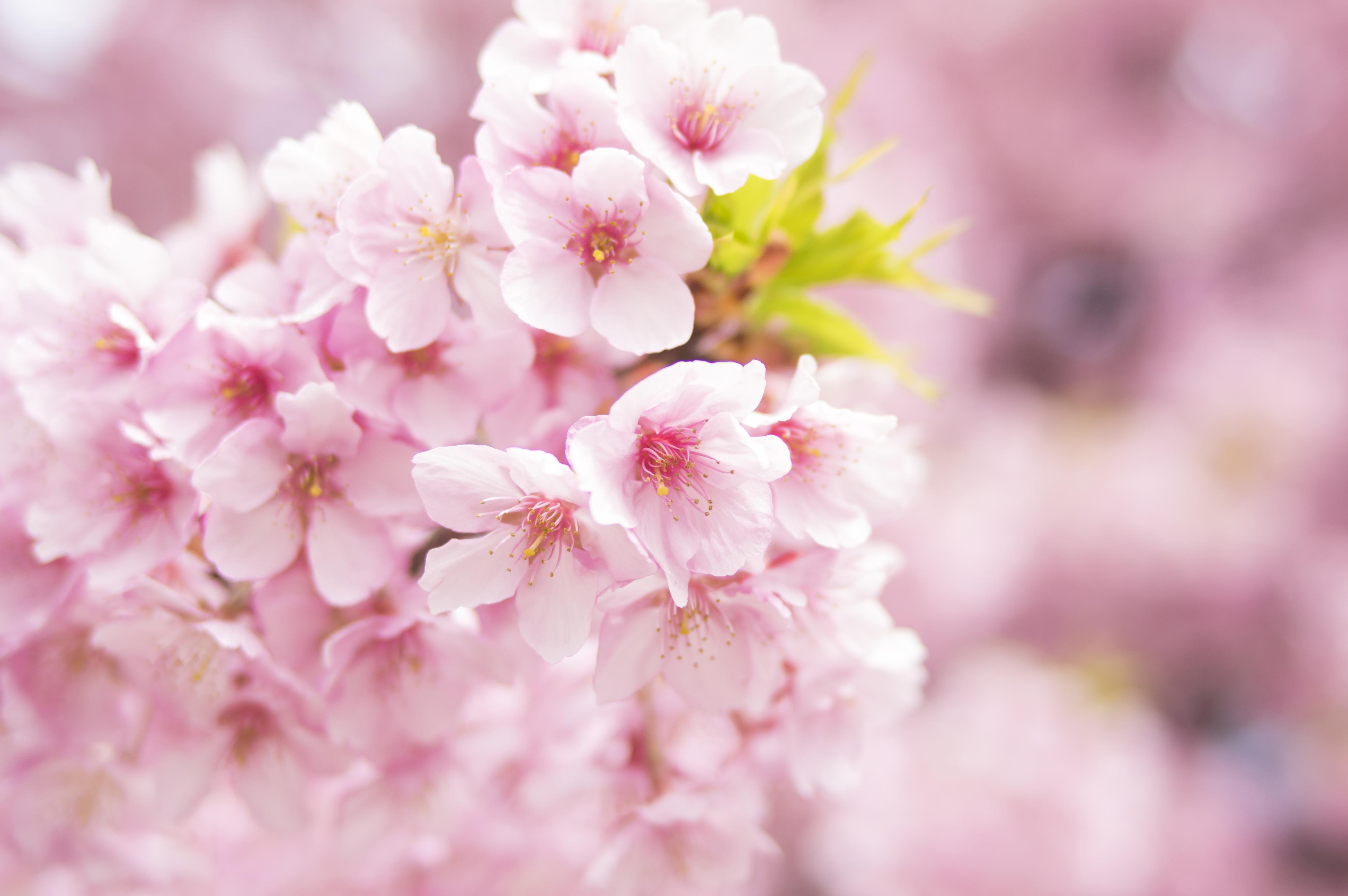 粉色樱花4k高清.jpg